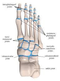 Foot Ligament Anatomy Birmingham Orthopaedic Foot And Ankle Clinic Anatomical Drawings