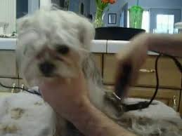 pictures of shorkie dogs with long hair blue long haired shorkie gets a haircut youtube