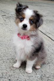 australian shepherd needs toy aussie pup we are looking into getting this breed cute