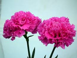 carnation flowers beautiful pink carnation flower wallpaper tadka