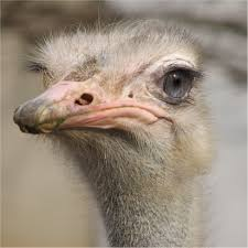 gray ostrich head free image peakpx