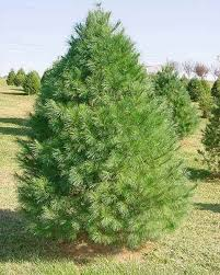 buy eastern white pine free shipping 99 99