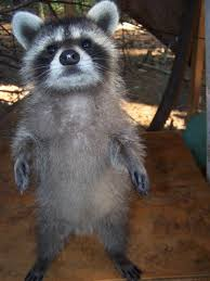 16 tips on how to get real cozy raccoons animal and racoon
