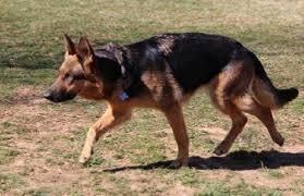 Light Sable German Shepherd Primer On German Shepherd Markings U2013 Doggerel