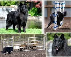 belgian shepherd how much about belgians u2013 isengard belgian sheepdogs