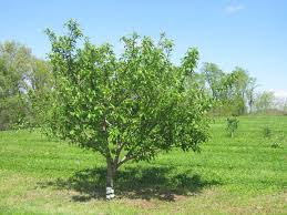 Transplant Fruit Trees - stages of apple tree growth what to expect after planting stark