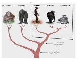 siege social bonobo the endangered bonobo apes creofire