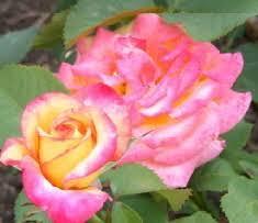 mardi gras roses floribunda roses