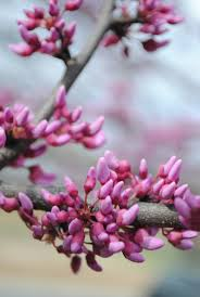 redbud native plant nursery 158 best cercis images on pinterest pansies heart of gold and