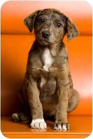australian shepherd lab mix puppy merrel adopted puppy portland or australian shepherd