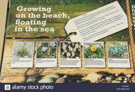 native plants uk information panel with illustrations about seashore plants found
