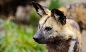 safari ltd african wild dog safari with us madikwe game reserve a hidden gem in south africa