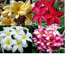 plumeria flower set of 4 100 hawaiian plumeria frangipani plant