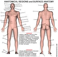 gallery surface anatomy diagram human anatomy diagram