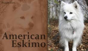 types of american eskimo dogs 12 dog breeds that look like foxes and are devilishly handsome