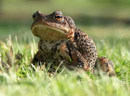 eliminate toads tips on how to get rid of garden toads