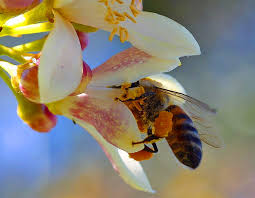 Flowers Bees Pollinate - plants use caffeine laced nectar to trick honeybees into