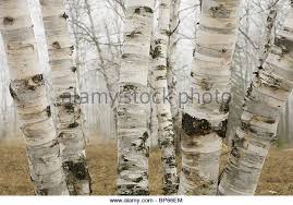 white birch tree stock photos white birch tree stock images alamy