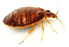 What Does Bed Bugs Look Like What Does A Bedbug Look Like Pictures Of Bed Bug