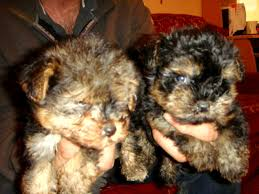 australian shepherd yorkie puppies poodle and yorkie mix puppies photo happy dog heaven
