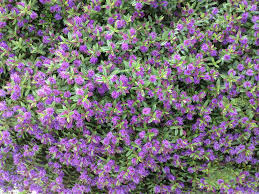 What U0027s This Plant With Glossy Leaves And Violet Flowers