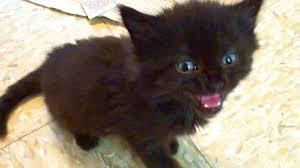 tiny kitten big meow youtube
