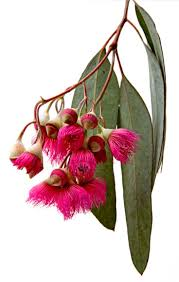 australian native plants perth the 25 best australian flowers ideas on pinterest australian