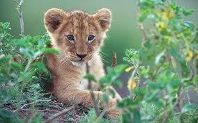 imagenes de leones salvajes gratis animales cachorros leones felino fondo de pantalla fondos de
