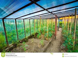 tomato plant raised beds in vegetable garden stock photo image