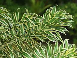 dracaena reflexa song of india pleomele reflexed dracaena