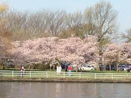 National Cherry Blossom Festival by 1 Day Washington Dc Cherry Blossom Tour From New York
