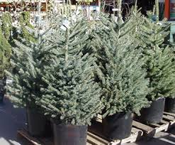 live christmas trees for sale living christmas trees mountain plover