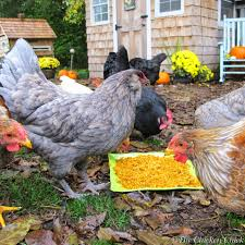 the chicken chicken treats guide don u0027t love your pets to