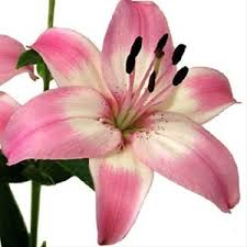 lilies flower vermeer asiatic lilies lilies flowers by category
