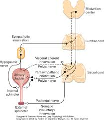 Visceral Somatic Reflex Printed From Student Consult Berne And Levy Physiology 6e The