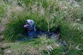 bedlington terrier stud bedlington terrier dog breed information pictures