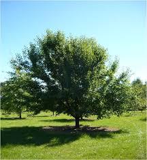 manchurian pear tree nursery western australia trees