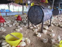 Termometer Kandang Ayam manajemen budidaya ayam broiler