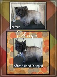 brindle cairn haircut dog groomers coquitlam aviva dogspaw i do handstripping of