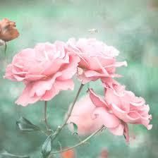 imagenes de rosas vintage rosas rosadas vintage enviar flores ramos de flores rosas