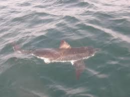 sweet dream sportfishing shark fishing