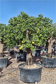 palmfarm catalogue citrus trees for sale in spain in europe and