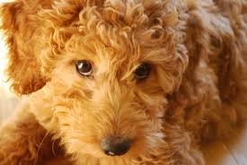 goldendoodle puppy virginia virginia doodles f1 goldendoodle puppies