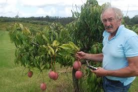 Mango Boom potential boom in mango farming tenterfield
