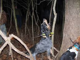 bluetick coonhound climbing tree ukc forums lets get some blue tick pictures up here