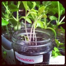 indoor mason jar seed starts 6 weeks u2013 growing grace farm