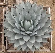 wholesale desert plants and cacti west texas plants