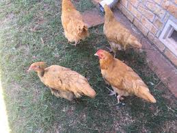 buff orpington roo or hen maybe 15 weeks old backyard chickens
