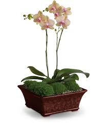 orchid plants orchid plants for delivery by the best florist in pasadena tx