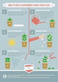 infographic about how to take care of a basil plant alive